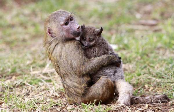 baboon2badopts2bbush2bbaby2b1