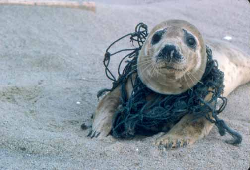 seal-trapped-in-nets